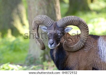 Portrait of a mufflon...