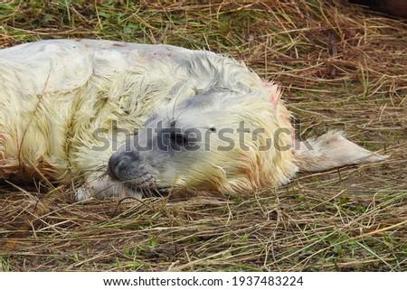 Portrait of a new born Grey Seal pup at Donna Nook Foto d'archivio ©