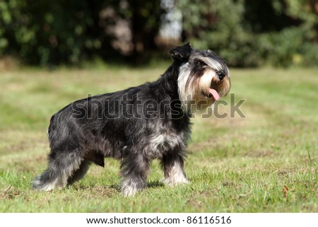 Portrait of a nice black and silver schnauzer in the grass
