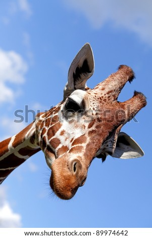 Portrait of a nice giraffe - stock photo
