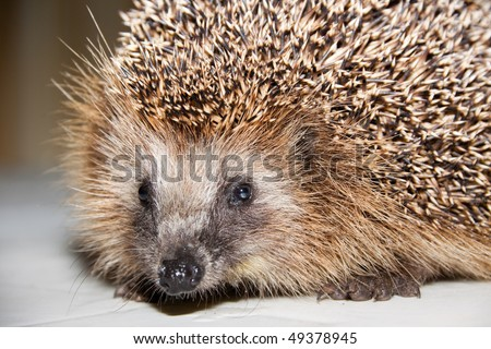 Portrait of a nice hedgehog. Close up.