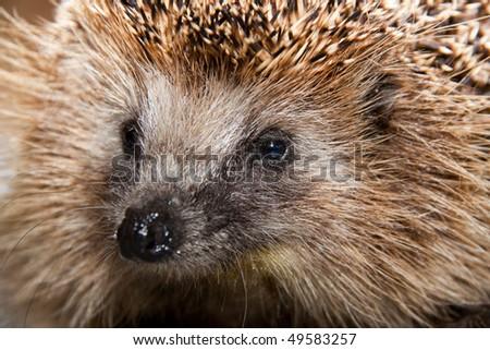 Portrait of a nice hedgehog. Close up.