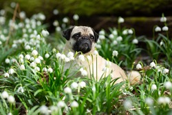 Portrait of a nice pug dog in the forest