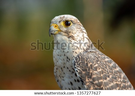 Portrait of a nice Saker Falcon (falco cherrug) #1357277627