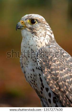 Portrait of a nice Saker Falcon (falco cherrug) #1357277630