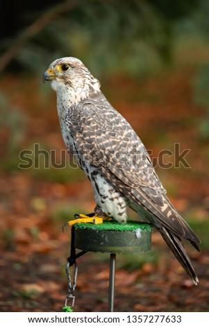 Portrait of a nice Saker Falcon (falco cherrug) #1357277633