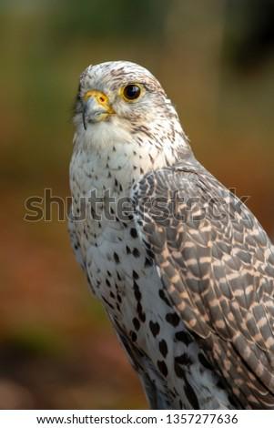 Portrait of a nice Saker Falcon (falco cherrug) #1357277636