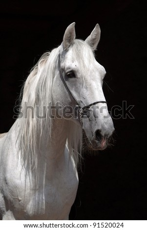 Portrait of a nice white horse on black background - stock photo