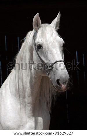 Portrait of a nice white horse on black background