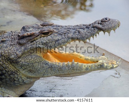 Portrait of a nile crocodile (Crocodylus niloticus) resting with mouth open, southern Africa
