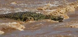 Portrait of a nile crocodiles in the brown water rapids of the Mara River