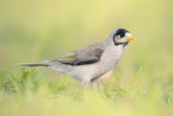 Portrait of a noisy miner (Manorina melanocephala) bird in grass - Australia