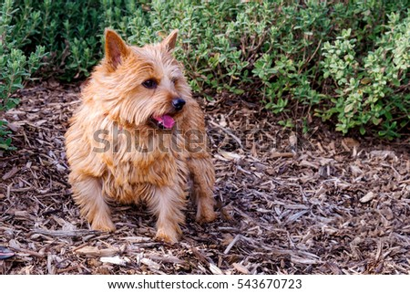 Portrait of a Norwich Terrier dog in a isolated park setting. Dog in park.  #543670723