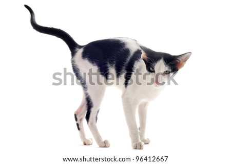 portrait of a oriental cat who marking his territory in front of white background