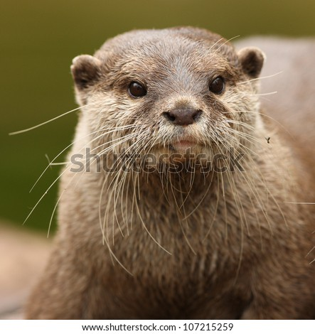 Portrait of a Oriental Short-Clawed Otter