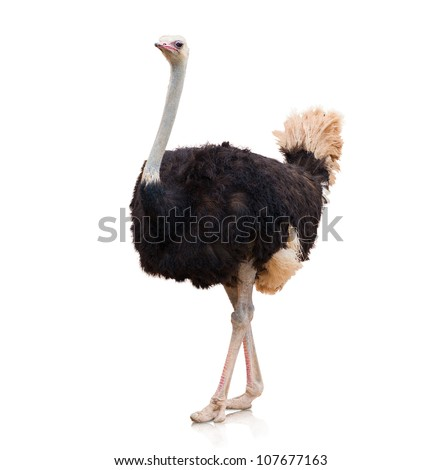 Shutterstock Portrait Of A Ostrich On White Background