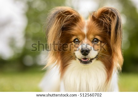 Portrait of a Papillon Purebreed Dog in a Grass Meadow with Trees Behind