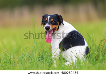 portrait of a Parson Russell Terrier sitting on the grass #480282484