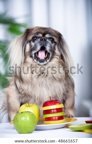 portrait of a pekingese dog