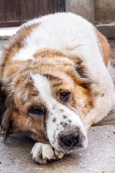 Portrait of a pensive dog resting its head on its paws. Breed Central Asian Shepherd (Alabai)