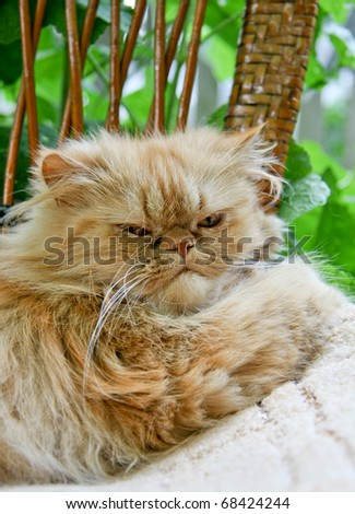 Portrait of a Persian cat resting on the street.