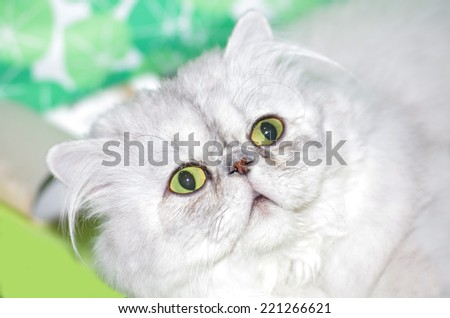 portrait of a persian cat surprised or scared