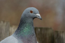 Portrait of a pigeon.Homing pigeon, racing pigeon or domestic messenger pigeon.