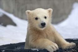 Portrait of a polar bear baby in a tired tire
