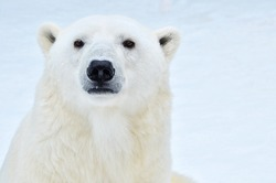Portrait of a polar bear close up.