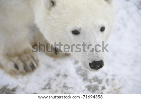 Portrait of a polar bear. Close up a portrait of a polar bear.
