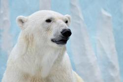 Portrait of a polar bear on a blue background.