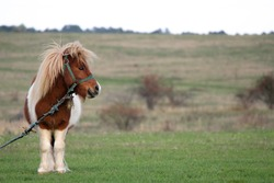 Portrait of a pony, photo shoot of a pony with an attitude, shot in the country side