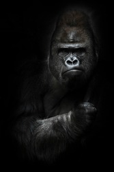 Portrait of a powerful dominant male gorilla (physiognomy), stern face and powerful arm. isolated black background.