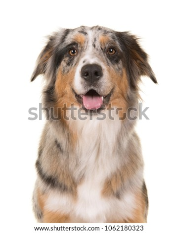 Portrait of a pretty blue merle australian shepherd dog looking straigth at the camera with open mouth on a white background #1062180323