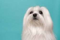 Portrait of a pretty longhaired Maltese dog on a blue background