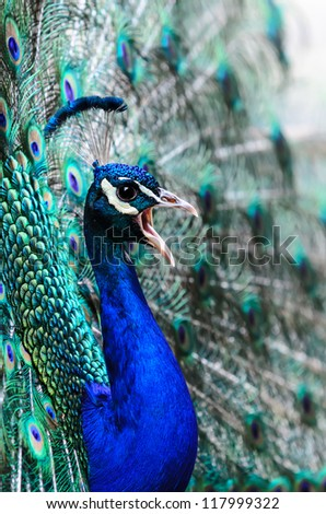 portrait of a proud displaying peacock male