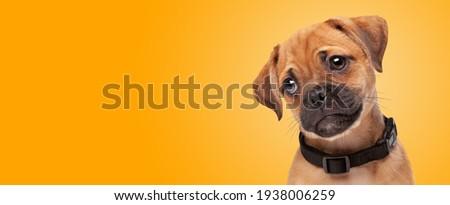 portrait of a pugelier puppy in front of an orange gradient background. half pug half cavlier king charles spaniel
