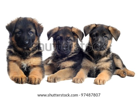 portrait of a  puppies purebred german shepherds in front of white background