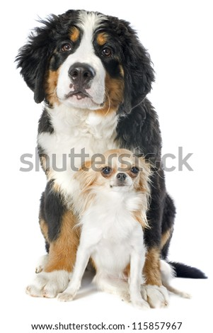 portrait of a puppy bernese mountain dog and chihuahua in front of white background