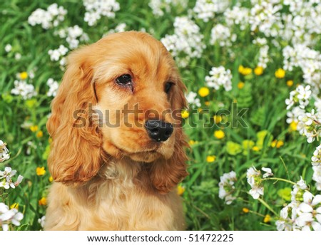 portrait of a puppy cocker spaniel in a field with flowers