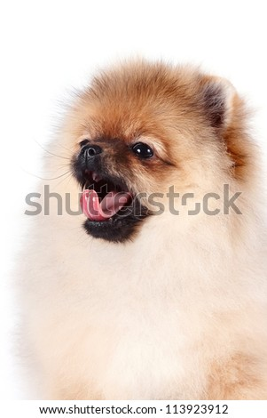 Portrait of a puppy of a spitz-dog on a white background
