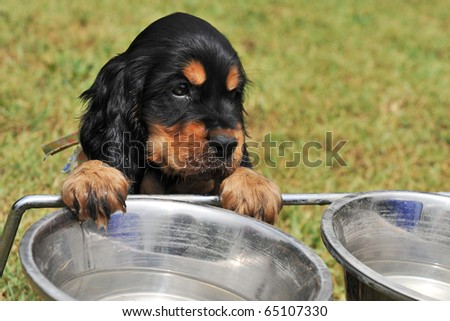 portrait of a puppy purebred english cocker drinking in a bowl