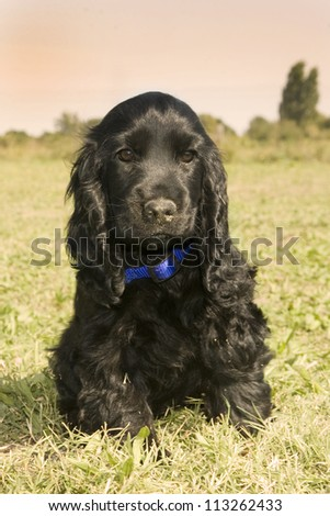 portrait of a puppy purebred english cocker on a orange sky