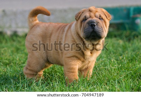 Portrait of  a puppy Shar Pei Dog in outdoors.