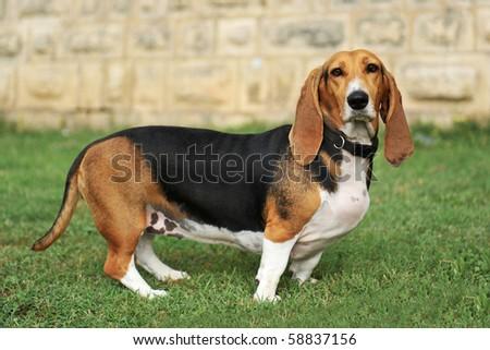 portrait of a purebred basset artesien (basset hound) #58837156