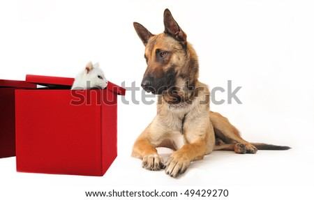 portrait of a purebred belgian sheepdog malinois and white kitten