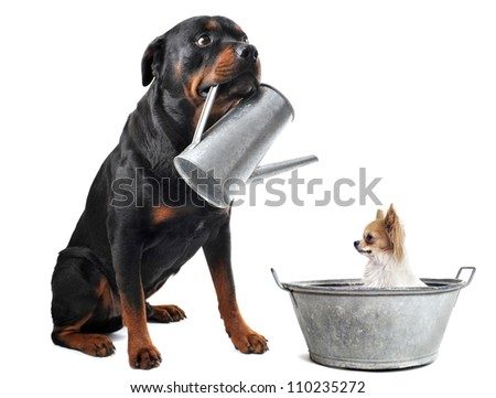 portrait of a purebred  chihuahua in a bassin and rottweiler with watering can  in front of white background