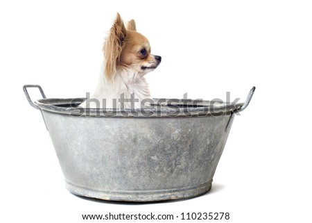 portrait of a purebred  chihuahua in a bassin in front of white background