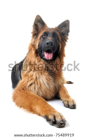 german shepherd wallpaper. Purebred German Shepherd.