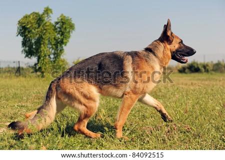 portrait of a  purebred german shepherd walking in a field